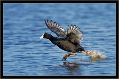 COOT DASH (PHOTOGRAPHY STARTS WITH P.H.) Tags: coot lodmore weymouth dorset nikon d500 500mm afs vr gitzo mk5 wimberley wh200 gimbal lodmoor