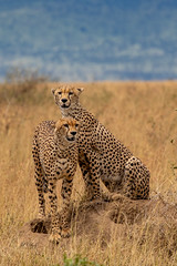 The Hunters (Jill Clardy) Tags: africa tanzania vantagetravel safari 201902249l8a0953 cheetah big cat brothers predators hunters serengeti national park termite hill hunting spotted cats savanna grassy grass grasses plain