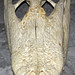 Alligator mississippiensis skull (American alligator) 6