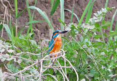 Male kingfisher (badger2028) Tags: male kingfisher alcedo atthis