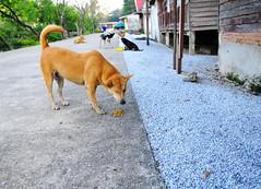 ,, A Wink & A Nod ,, (Jon in Thailand) Tags: buddhistnun mama rocky thezoomer littlestubby dog dogs k9 k9s yellow red green blue teal dogtail dogears dogeyes dogexpression jungle themonkeytemple blackwhitedog awinkanod nikon d300 nikkor 175528 dogkibble littledoglaughedstories