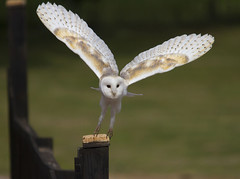 Barn Owl (wayne.withers1970) Tags: small pretty bird wings fly flight flying color colorful nature natural colour colourful wild wildlife england flickr dof bokeh country countryside outside outdoors alive fauna flora canon sigma light blur black white brown green feathers fine tree trees dark animal plant vegetation owl display newent gloucestershire summer ibpc birdofprey barnowl naturephotography
