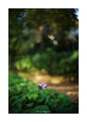 2018/11/25 - 2/21 photo by shin ikegami. - SONY ILCE‑7M2 / Voigtlander NOKTON CLASSIC 40mm f1.4 SC VM (shin ikegami) Tags: sky 空 flower 花 マクロ macro 井の頭公園 吉祥寺 autumn 秋 sony ilce7m2 sonyilce7m2 s7ii 40mm voigtlander nokton nokton40mmf14sc tokyo photo photographer 単焦点 iso800 ndfilter light shadow 自然 nature 玉ボケ bokeh depthoffield naturephotography art photography japan earth asia