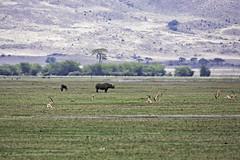Black Rhino (surfneng) Tags: africa blackrhinoceros gazelle ngorongorocrater safari tanzania