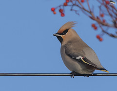 Waxwing on a wire (Mick Erwin) Tags: waxwing wire berries rowan nikon afs 600mm f4e fl ed vr lens tc14e teleconverter iii d850 mick erwin stoke trent staffordshire wildlife nature hednesford