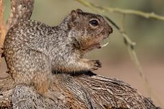 Javalina Squirrel (gilamonster8) Tags: wood flickrexplore landscape sigma teeth canon ngc tucson 5dmarkiv squirrel 150x600 wildlife rocksquirrel flickr macro bokeh naturetop cactus arizona eos pricklypearcactuswood animal detail