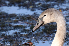 Un jeune cygne gris (Alain Denis) Tags: cygnetuberculé cygnusolor oiseaudeau