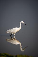 HoskoteBirding_Jan2019_D75_8486 (mgcs) Tags: birds indianbirds karnataka nikond750 nikkor200500 wild handheld