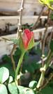 20181218_120038 (Feralysa) Tags: flor flower rosa hibisco natureza