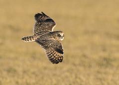Short-eared Owl flying south (Thomas Muir) Tags: asioflammeus bird raptor birdwatching outdoor woodcounty bowlinggreen ohio flying hunting nikon animal 600mm