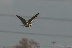 Short Eared Owl-9821 (WendyCoops224) Tags: 100400mml 80d fens canon eos ©wendycooper short eared owl asio flammeus