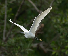 Flying at an Angle (TattooIND) Tags: bif bird wildlife sony a9 100400 flight white heron