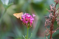 Skipper - HESPERIIDAE Family (Lenny Bander) Tags: butterfly butterflies skipper darter australian orange papillon pink flower flowers insect