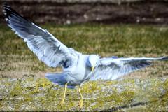 Gabian 9 (thierrybalint) Tags: oiseau oiseaudemer bird gabian balint thierrybalint nikon nikoniste pelouse herbe grass parc park borely marseille posture atterrissage landing