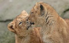 asiatic lion Blijdorp 094A0827 (j.a.kok) Tags: leeuw lion animal azie aziatischeleeuw asia asiaticlion mammal zoogdier dier predator pantheraleopersica blijdorp lioncub welp leeuwenwelp cub asianlioncub