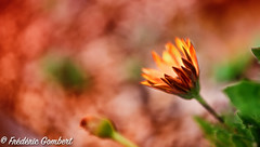 Like a flame (frederic.gombert) Tags: flower flowers bloom blossom color orange light colors macro nikon sun winter spring