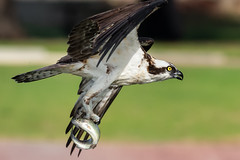 Trout to go (cbjphoto) Tags: avian birdofprey osprey carljackson photography trout bird raptor fish hawk