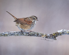 Swamp Sparrow (Bill McDonald 2016) Tags: sparrow bird avian perched perching winter cambridge ontario canada nature wildlife billmcdonald wwwtekfxca snowy snow branch frosty