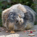 Marmot and nut thumbnail