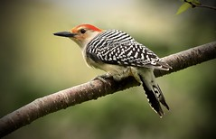 Red-Bellied (Diane Marshman) Tags: red bellied redbellied woodpecker large bird head tan black white wings tail feathers thick beak tree branch spring pa pennsylvania nature wildlife