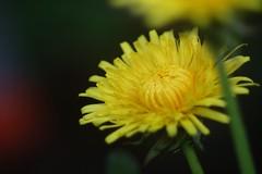 蒲公英 / Dandelion      Boyer Paris Saphir <<B>> 135mm F 4.5 (情事針寸II) Tags: ngc wildflower 野草 マクロ撮影 自然 花 蒲公英 yellow macro bokeh oldlens nature pissenlit fleur flower dandelion boyerparissaphirb135mmf45