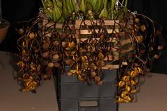Gongora galeata 2019-02-11 01 (JVinOZ) Tags: orchid orchidspecies gongora