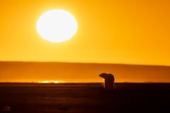 Story Book Ending (Glatz Nature Photography) Tags: alaska animal arctic arcticalaska barterisland bear eyelevelview glatznaturephotography kaktovik mammal nanook nanuk nanuq nature nikond850 northamerica northslope polarbear ursusmaritimus wildanimal wildlife anwr arcticnationalwildliferefuge silhouette rimlighting
