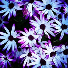 Purple, blue and white When I have a chance, I stop by our local @armstronggarden store to see what is in-season, new, and perhaps, on sale. Even when I don't end up buying something, it is a good opportunity to take some photos to share here and on my ga (dewelch) Tags: ifttt instagram purple blue white when i have chance stop by our local armstronggarden store see what is inseason new perhaps sale even dont end up buying something it good opportunity take some photos share here garden blog a gardener's notebook today was quite productive youll pictures from that visit own over next few days flowers nature outdoors gardening iggarden flowersofinstagram flowerstagram treestagram rainbowpetals plantstagram