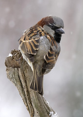 _A990952 (mbisgrove) Tags: a99m2 a99ii sparrow sony snowflake snow