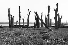 Petrified trees. (wimjee) Tags: water boom tree versteend petrified oheenlaak limburg nederland niksoftware silverefexpro2 zwartwit blackwhite monochrome ohéenlaak