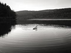 Synchronschwimmen (Werner Schnell Images (2.stream)) Tags: ws listertalsperre talsperre wasser water schwan schwäne swan swans synchronschwimmen