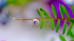 Droplet - 6547 (ΨᗩSᗰIᘉᗴ HᗴᘉS +50 000 000 thx) Tags: nature drop droplet goutte perle pearl fuji xt1 meike meike85mm belgium europa aaa namuroise look photo friends be yasminehens interest eu fr party greatphotographers lanamuroise flickering macro