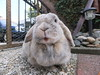 """Can I have my noms, please?"" (eveliensbunnypics) Tags: bunny rabbit lop lopeared polly outdoor outside backyard patio dewlap face mouf mouth funny"