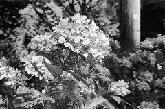 A plant in black-and-white (Matthew Paul Argall) Tags: beirettevsn manualfocus 35mmfilm blackandwhite blackandwhitefilm kentmere100 100isofilm guessfocusing flower flowers plant plants