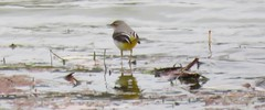 The only grey wagtail I ever saw (Elisa1880) Tags: bird vogel grote gele kwikstaart motacilla cinerea grey wagtail arno river rivier fiume ucello florence italy italia italie tuscany toscane toscana