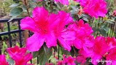 Crazy Color - Azaleas go Pop (http://www.yashicasailorboy.com) Tags: plants flowers florida blooms blossoms azaleas