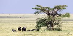 CAPE BUFFALO 1 (Nigel Bewley) Tags: tanzania africa wildlife nature wildlifephotography nigelbewley photologo appicoftheweek capebuffalo africanbuffalo synceruscaffer march march2019 maswagamereserve safari gamedrive