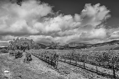 Oaks in the Vineyard (allentimothy1947) Tags: califonia kenwood kundewinery landscape autumn clouds fall hdr hills sky trees vineyards sonomacounty wines vines valleyofthemoon oak bw blackandwhite