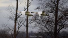 Winter Flight (Stephanie Sinclair) Tags: mtvernon pnw skagitvalley birding birds migratorybirds seattleempress stephaniesinclairphotography swans trumpeterswan wildlife laconner skagit washingtonstate