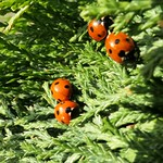 first ladybugs