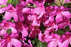 0B6A1593 (Bill Jacomet) Tags: azalea azaleas flower flowers houston tx texas 2019