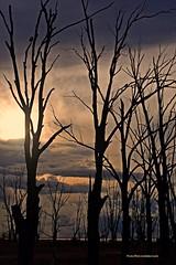 Al atardecer... (Aprehendiz-Ana Lía) Tags: flickr nikon árboles desnudos solos atardecer tramonto laguna epecuén argentina pájaro trasluz contraluz cielo nubes fila ramas brazos sol luz pajaros aves siluetas soledad