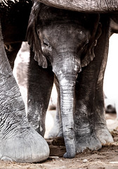 Elephant calf (Thomas Retterath) Tags: thomasretterath nature natur nopeople safari 2018 fluss chobe botswana africa afrika river wildlife loxodontaafricana bigfive africanelephant elefant elephantidae pflanzenfresser herbivore säugetier mammals animals tiere trunk stoszähne tusks closeup nahaufnahme