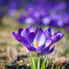 Wet spring is on the way ! (Mike Y. Gyver ( Back Home )) Tags: crocus vert colors closeup belgique belgium brussels bruxelles mygphotographiewixsitecommyg2017 myg 2019 purple jardinbotaniquedemeise yellow nikon d90 helios442 spring flower flowers bokeh