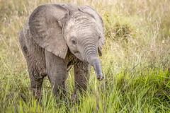 Curious Little Elephant (helenehoffman) Tags: africa kenya conservationstatusvulnerable mammal elephant loxodontaafricana africanbushelephant maasaimaranationalreserve animal