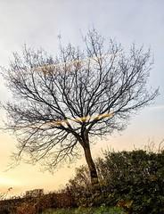 A lone tree in early morning light (dksesha) Tags: seshadri dhanakoti harita menaka google pixel tilottama boroughofhounslow aldi sesh seshfamily haritasya vilambisamvatsara googlepixel3xl googlepixel pixel3 pixel3xl hounslow hiberniaroad