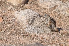 Antelope Squirrel lookout (Kukui Photography) Tags: desert antelope squirrel arizona wildlife backyard tucson desertantelopesquirrel