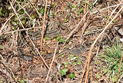 Five Adders. (Sky and Yak) Tags: adder viper vipera berus viperaberus snake snakes serpent herpetology herp reptile reptilesandamphibians dorset nature naturalworld
