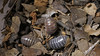 Armadillidium sordidum (Awavi) Tags: isopod armadillidium ダンゴムシ pillbug
