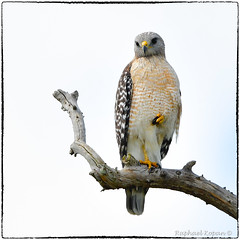 Red Shouldered Hawk (RKop) Tags: circlebpreserve florida raphaelkopanphotography d500 600mmf4evr nikon